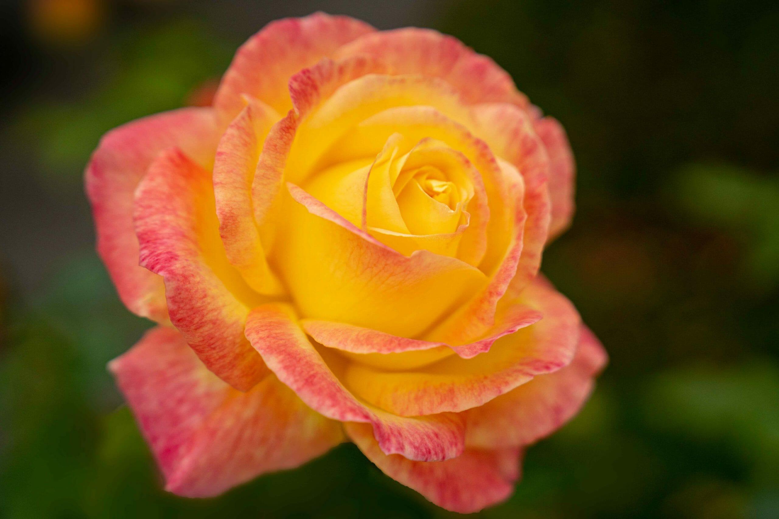 Makro Rosenblüte