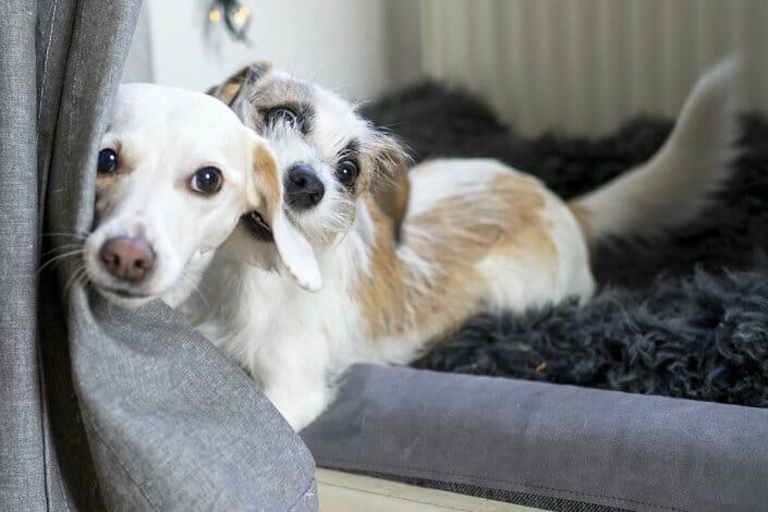 Foto zwei Hunde im Spiel