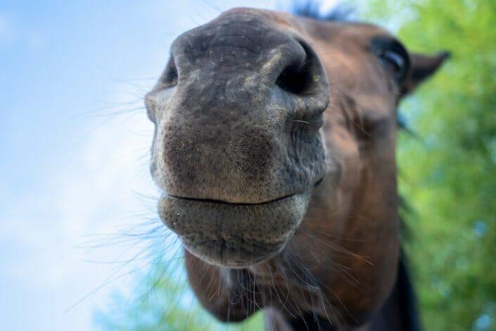 Pferd Nüstern Weitwinkel