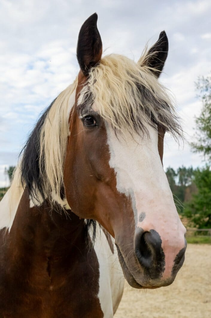 Pferdefoto Porträt