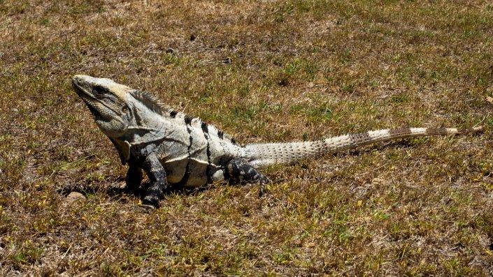 Leguan Uxmal Yucatan