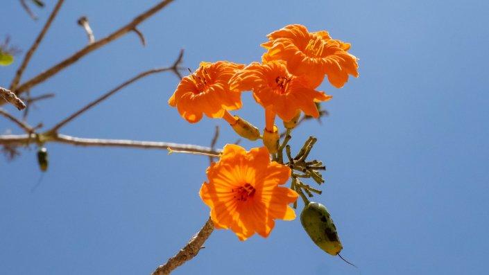Blüten feuerrot Chichen Itza