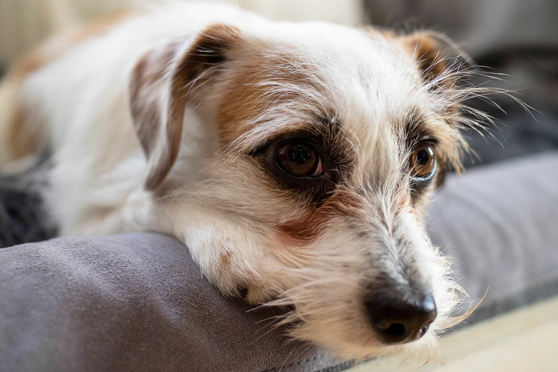 Hund mit treuem Blick