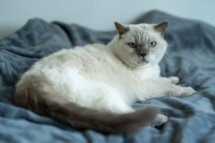 British Kurzhaar Porträtfoto